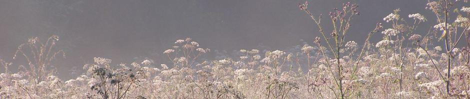 Misty flowers on Popehouse Moor SSSI