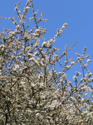 Blackthorn in blossom on Popehouse Moor, Wheatland Farm, Devon