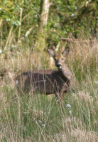 Fallow deer at Wheatland Farm eco lodges, Devon