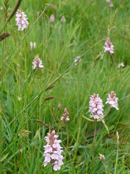 Heath Spotted Orchids, Popehouse Moor, Devon June 2012
