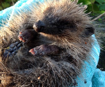 Baby hedgehog 2012