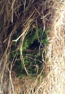 Entrance to a wren's nest woven into a bale of hay